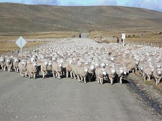 090501_sheep.jpg